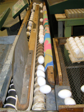 Egg conveyor belt c.1920 - 30s, Photograph Wollondilly Heritage Centre