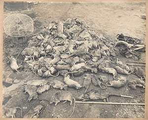 A heap of Rats from Views taken during Cleansing Operations